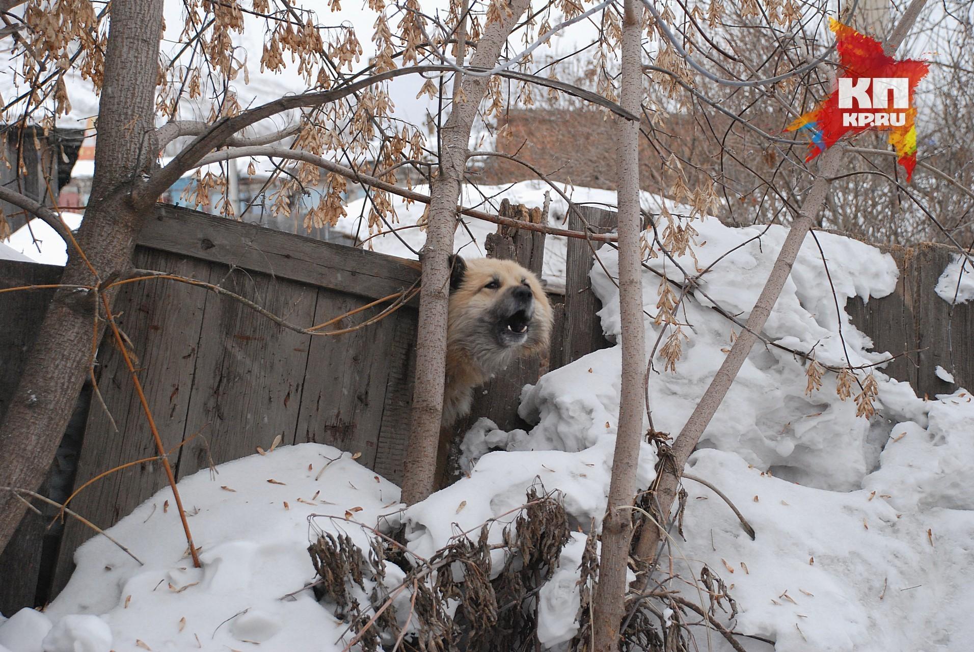 Стая бездомных собак напала наребенка вКрасноярске