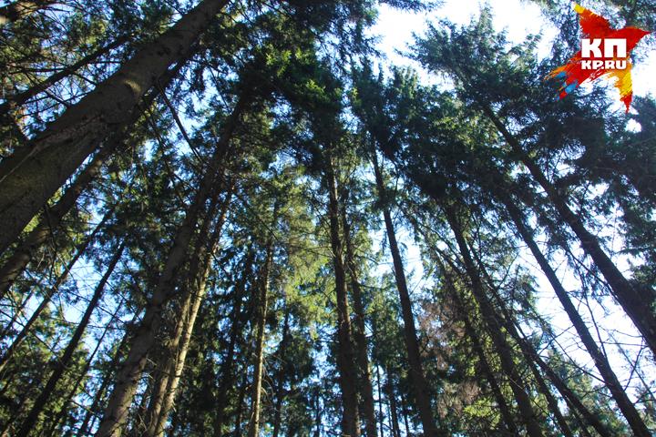 Неменее тысячи гектаров брянского леса спасут отвырубки