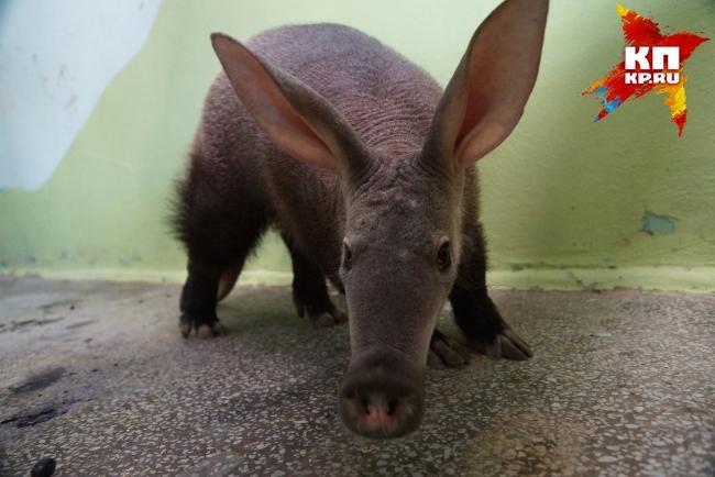 Екатеринбургский зоопарк отправит вЧехию детёныша трубкозуба