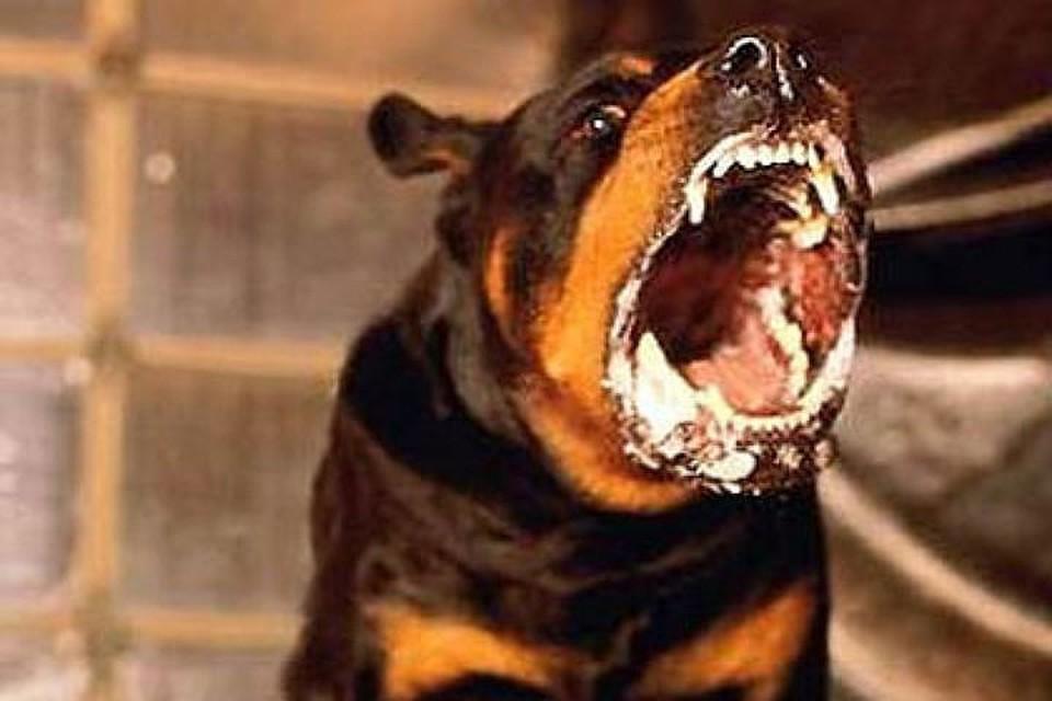 В северной столице, угрожая бойцовской собакой, отобрали мобильные телефоны