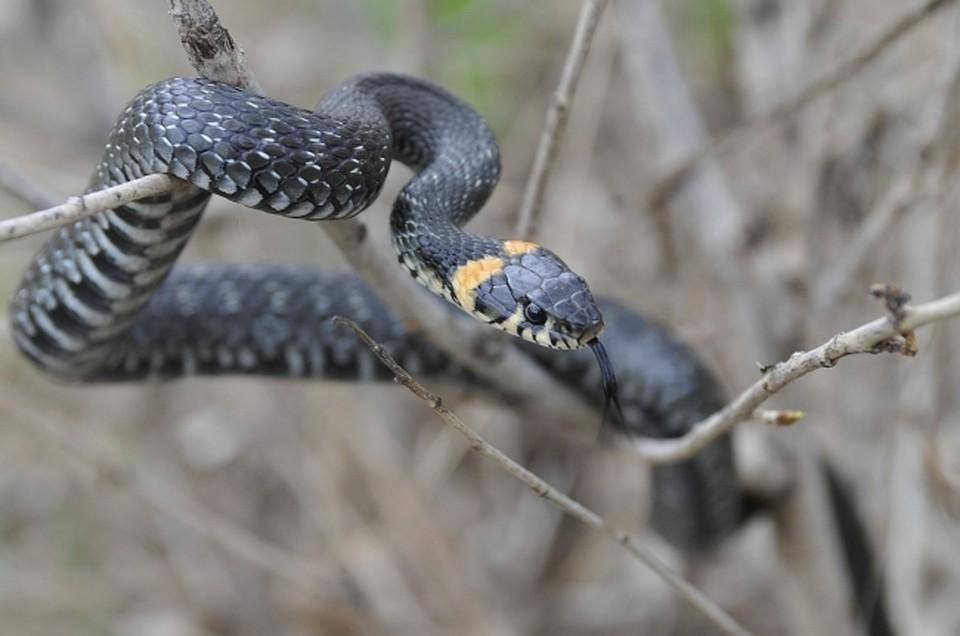 Граждане многоэтажки вВоронеже отыскали около своего подъезда неизвестную змею