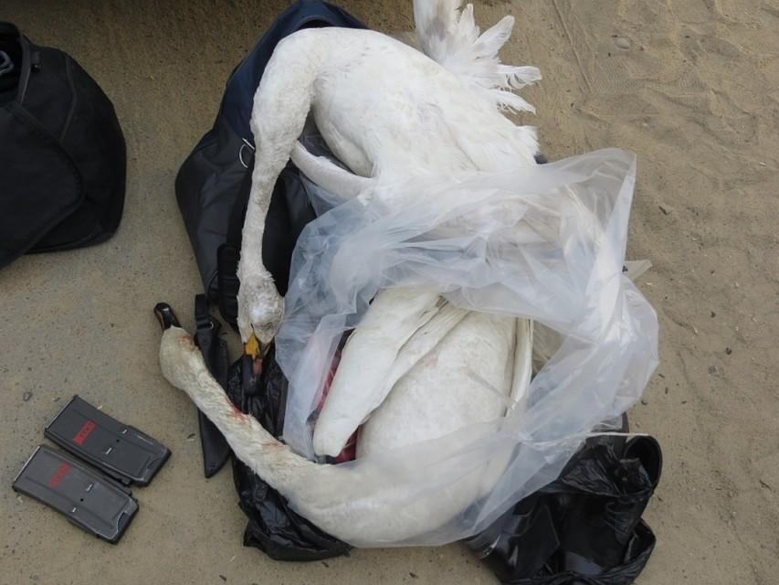 Мертвых краснокнижных лебедей обнаружили вмашине уохинца