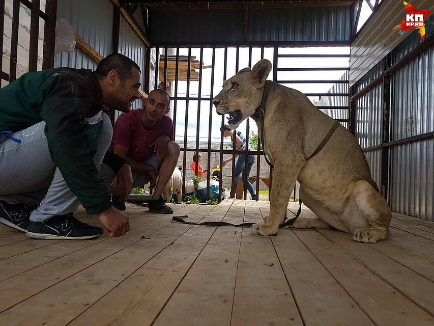 Львицу Майю передадут вПензенский зоопарк