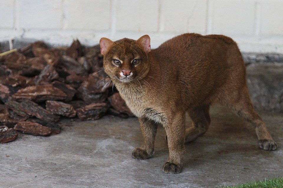 Векатеринбургском зоопарке поселилась пара ягуарунди