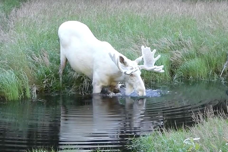 Шведские ученые выясняют откуда появляются белые лоси