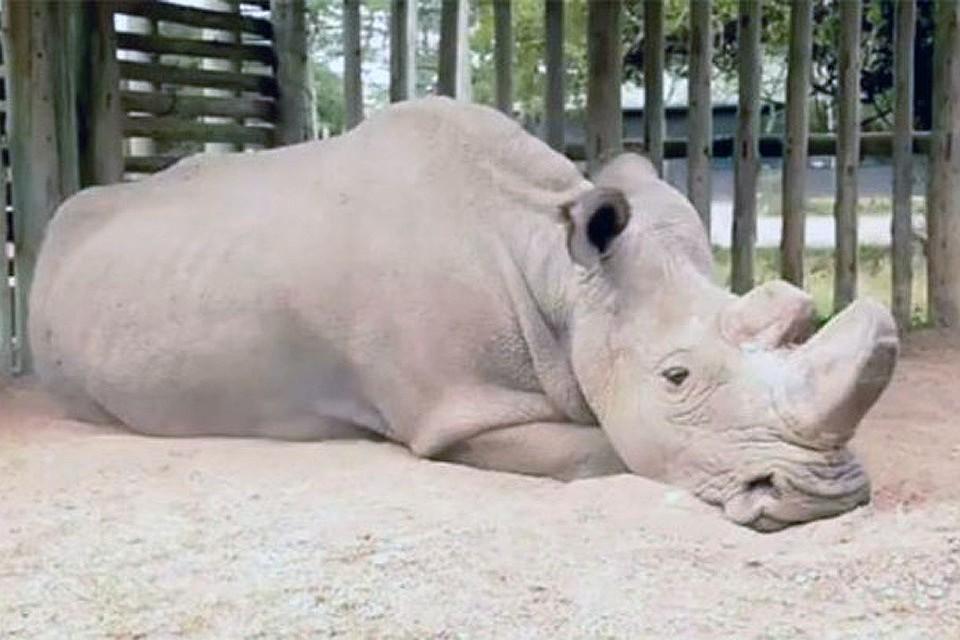 Последний уполномоченный северных белых носорогов может умереть бездетным