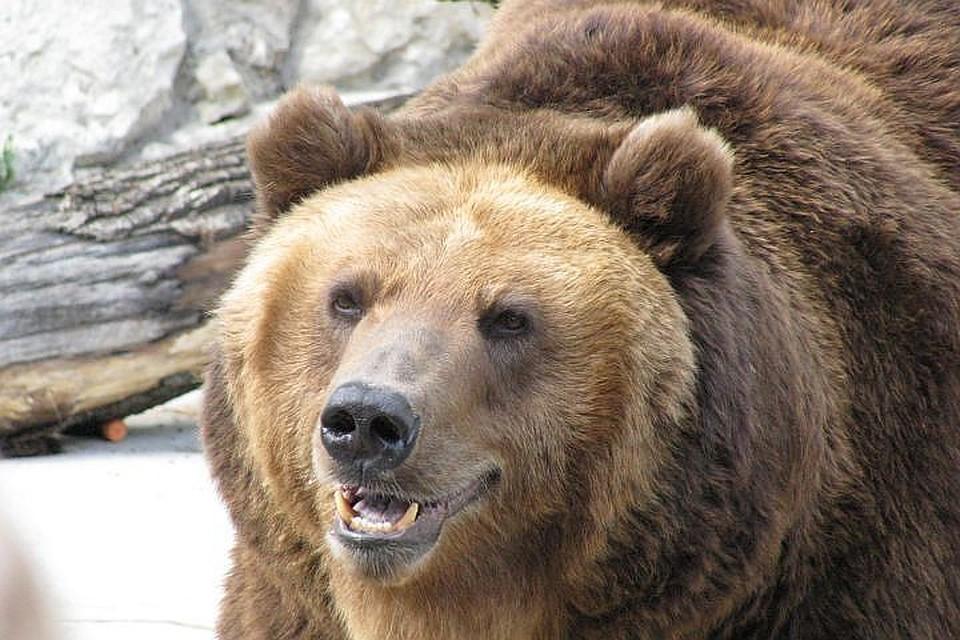 Канадский хоккеист расстроился, не повстречав медведей вНовосибирске