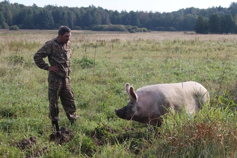 В руководстве предположили, что чума свиней может вернуться вОмскую область