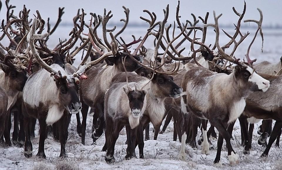 АПК Ямала заключили договоры опоставке оленины вФинляндию иГерманию