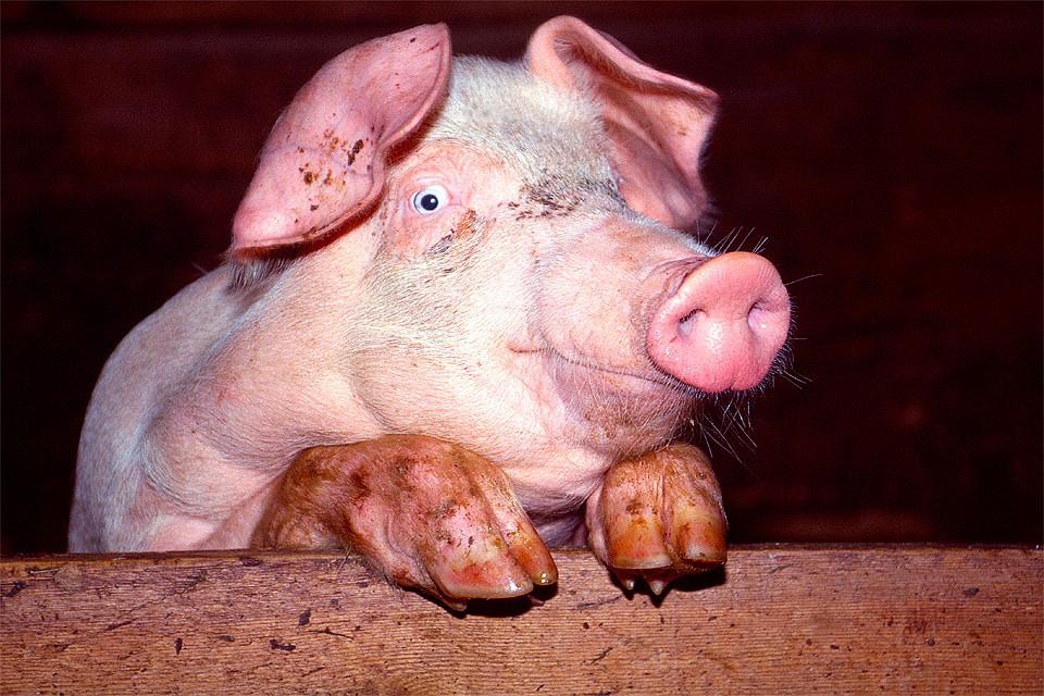 Ученые научились сохранять жизнь вмозгах свиней отдельно оттела