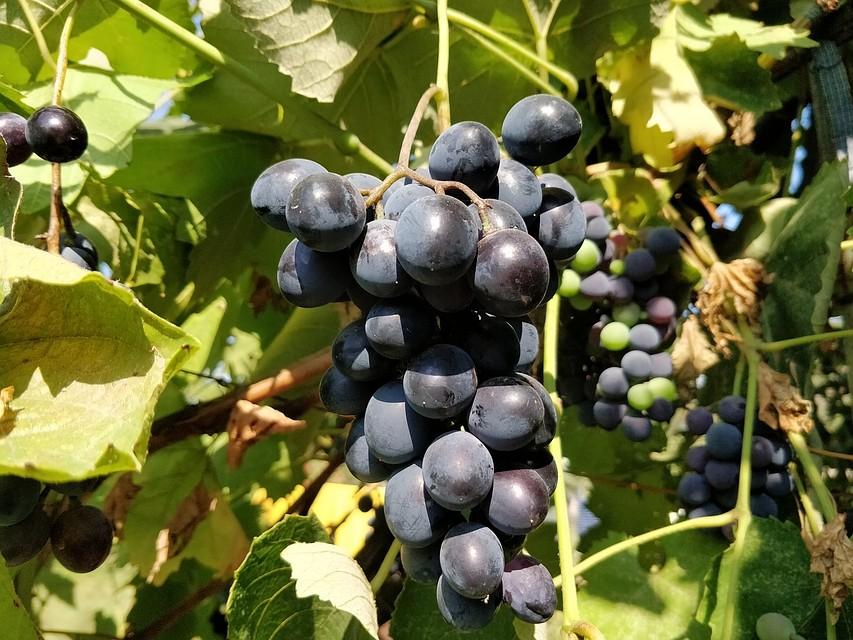 ВКрыму площадь посадки виноградников возросла практически втри раза