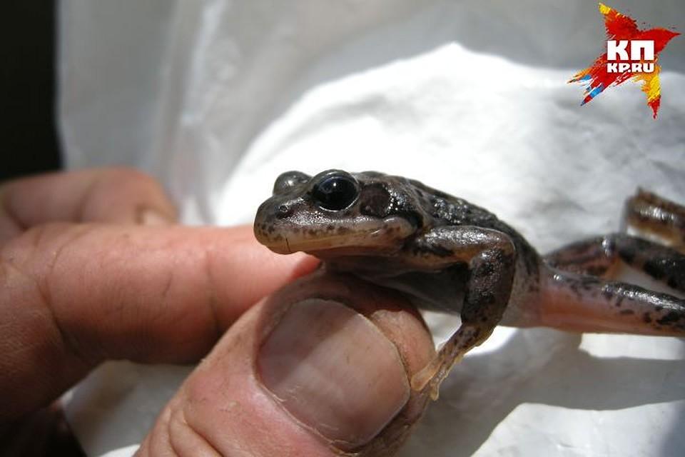 ВКрасноуральске около заброшенного химзавода найдены прозрачные лягушки
