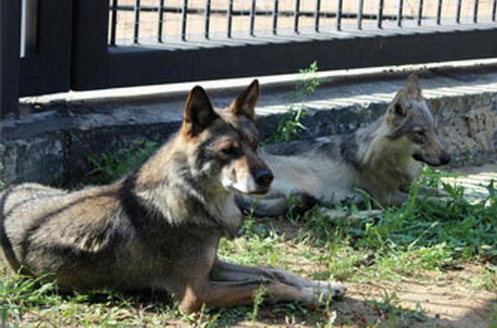 Вворонежском зоопарке можно будет бесплатно посмотреть наволков