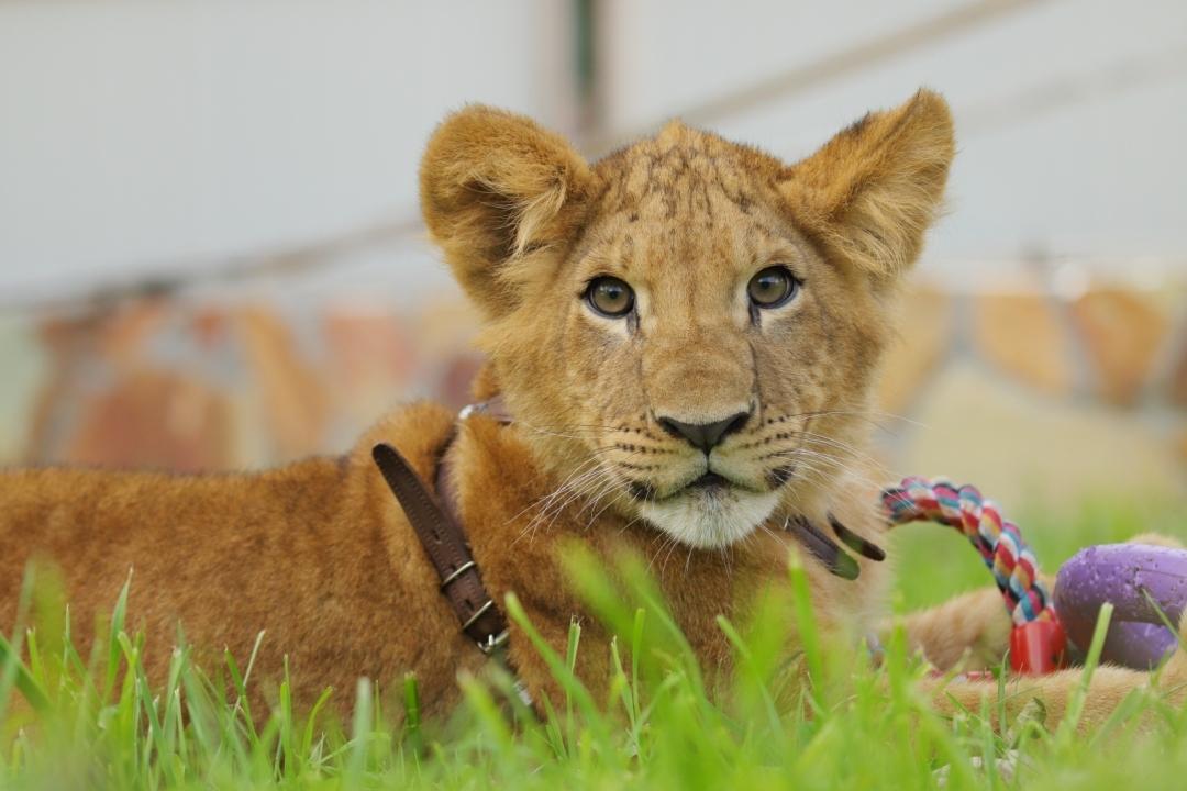 Львёнка изЛенинградского зоопарка удачно доставили вПермь