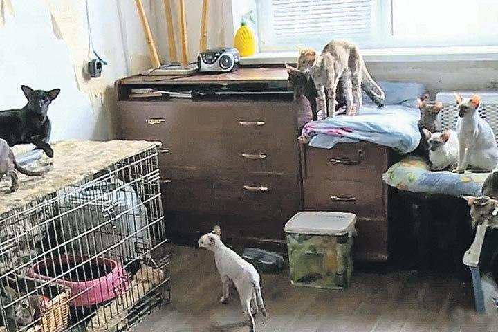 В квартире Мироновичей породистые ориенталы были повсюду. Скоро уже и людям места не осталось. В частности, маме заводчицы, которую выселили на кухню. Фото: 360tv.ru