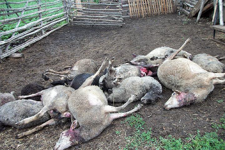Представитель партии «Демократы Швеции» весело рассказывал об нацистской выходке на скотобойне. Фото: с сайта animalsprotectiontribune.ru