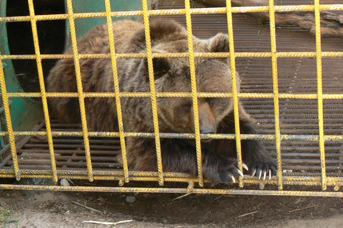 ВНижневартовске мужчина 10 лет держал медведя вклетке