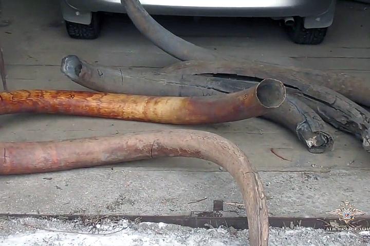 ВЯкутии задержаны подозреваемые вкраже бивней мамонтов