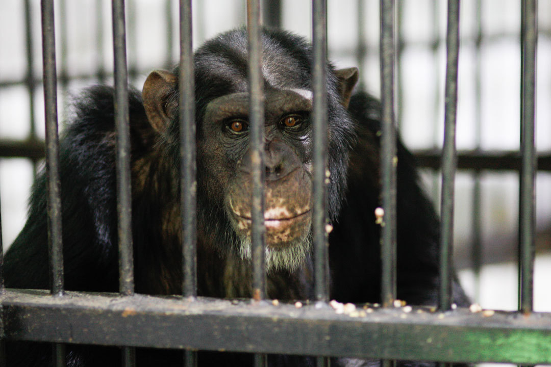 Защитники животных обвинили ставропольский зоопарк всмерти шимпанзе Малевича