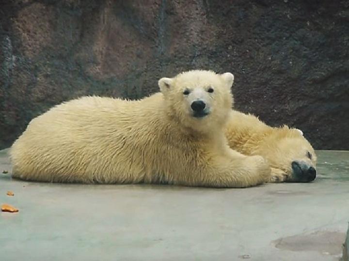 Белых медведей иззоопарка отправят вВенгрию