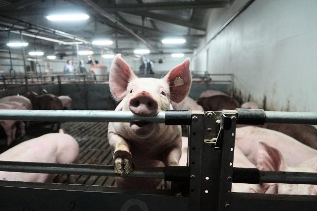 ВРостовской области снова найдена африканская чума свиней