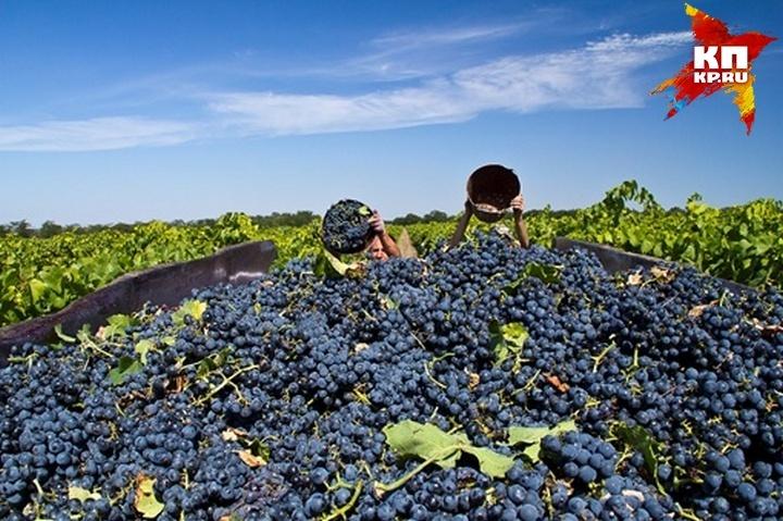 Кубань стала первой вгосударстве попроизводству виноградных вин