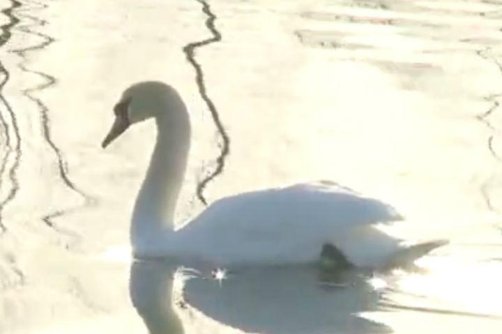 Нареке Кан вКанске появился белый лебедь