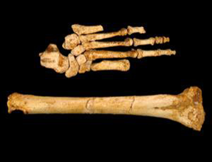 Ступня хоббита и его берцовая кость.