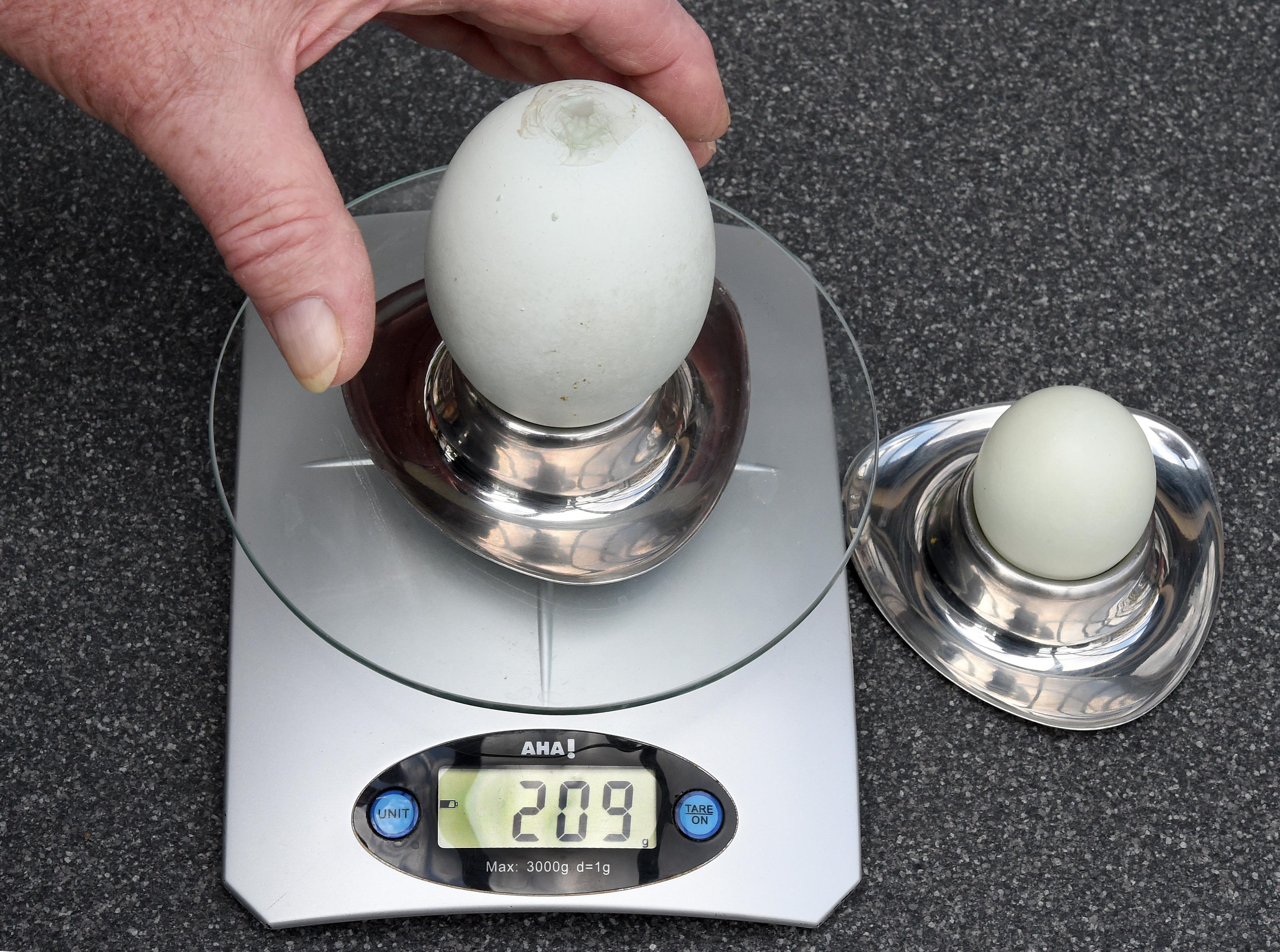 Немецкие фермеры уверены, что появление в их хозяйстве огромных яиц - это чудо. Так как научных причин тому они найти не могут. Фото: Holger Hollemann/DPA/TASS