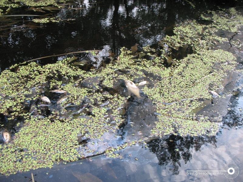 Научастке Днепра вДубровенском районе найдена  погибшая рыба