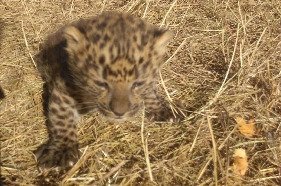 На Ставрополье родился детеныш леопарда и пантеры 5d3543715f4