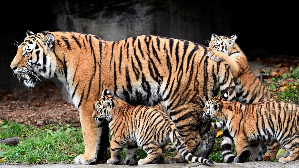 фото картинки тигры
