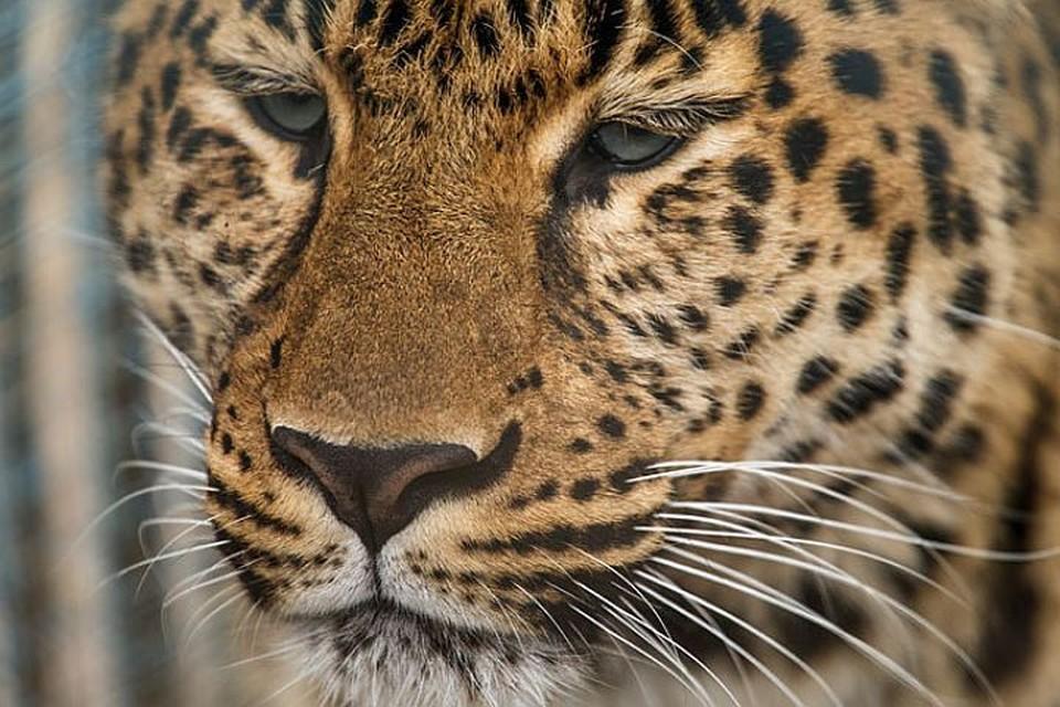 Леопард - очень острожное животное
