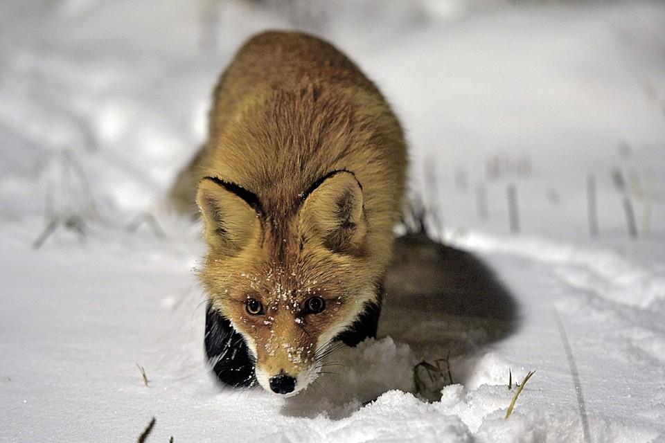 Ближе чем на два метра приближаться к себе лиса не позволяет, держит дистанцию.