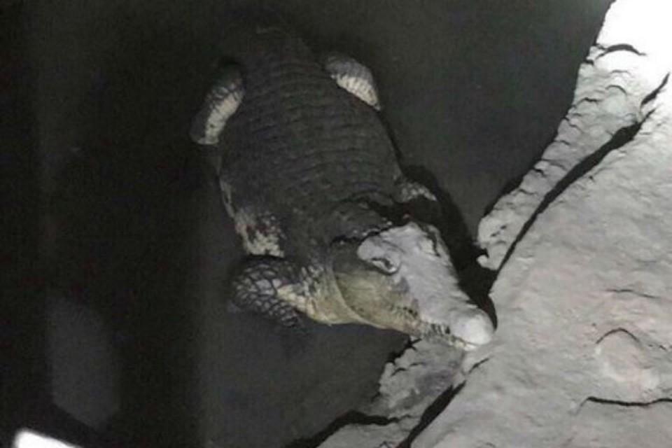 Нильские крокодилы обитают в Африке и... в подвалах домов в Петербурге. ФОТО: соцсети