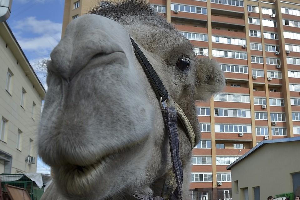 В Тульской области верблюд убил мужчину