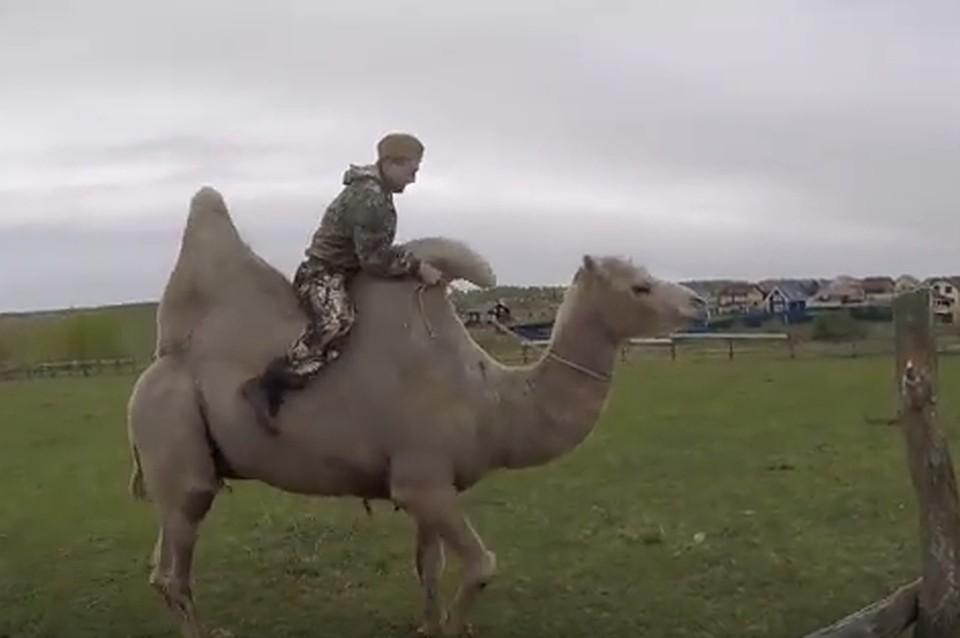 Верблюд, который насмерть затоптал человека в Тульской области, участвовал в гонках на деньги
