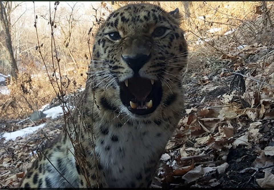 леопард Великоросс. фото Антона Федосеева