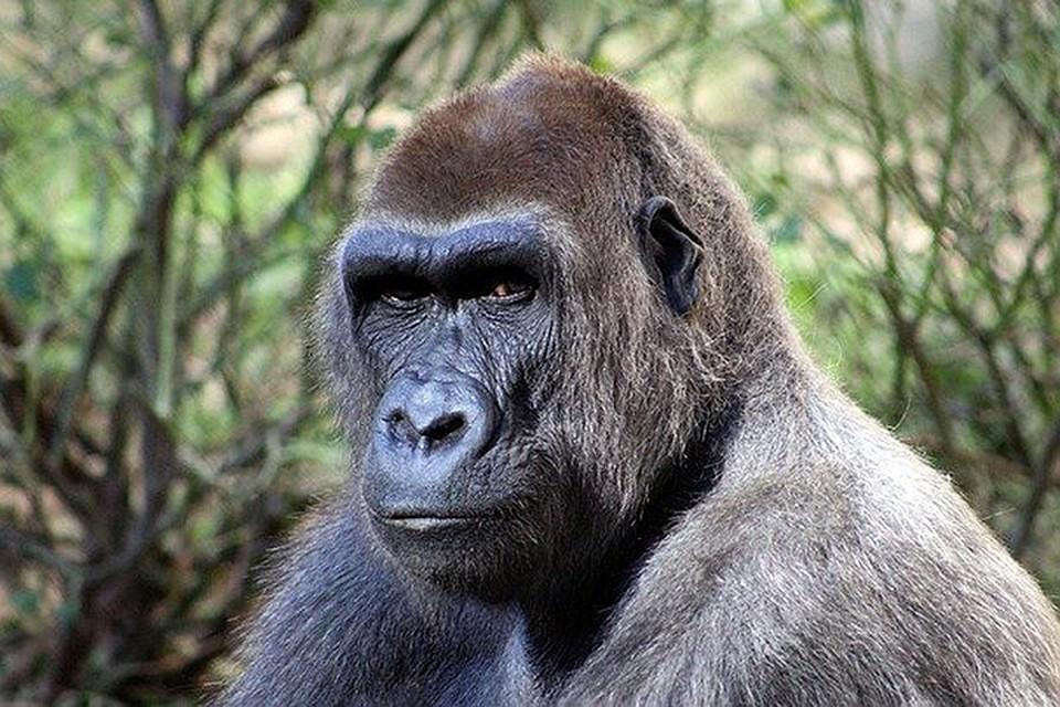 Сенсационный результат эксперимента: обезьяна оказалась умнее человека рекомендации