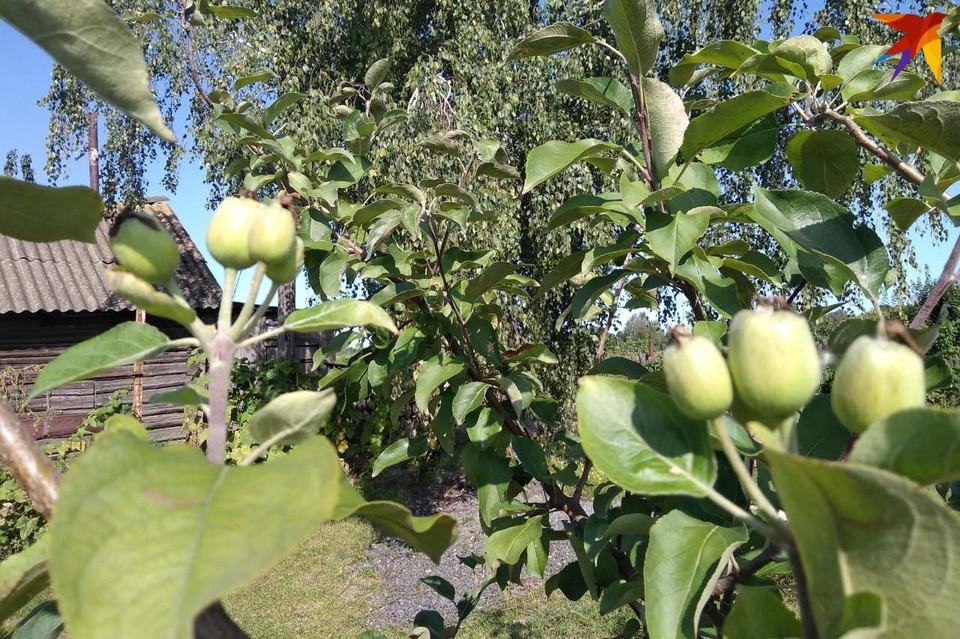 Под Гомелем хозяйка собирает второй урожай яблок за год. Фото: личный архив