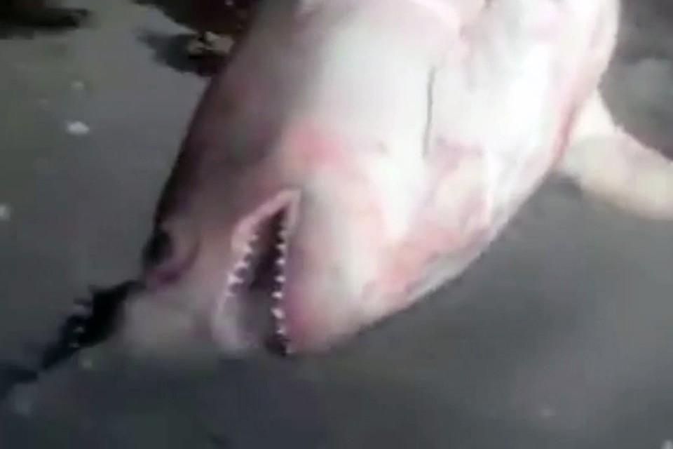 В Дудинке акула не попалась в сеть рыбакам: видео снято в Хабаровском крае. Фото: стоп-кадр видео