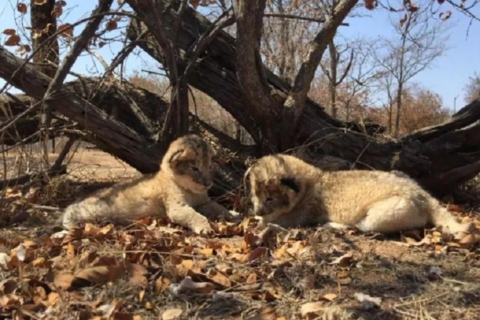 Два африканских львенка, рожденных после процедуры ЭКО, чувствуют себя отлично. ФОТО: https://www.thesun.co.uk/news/worldnews/7170021/first-test-tube-lion-cubs-born-sparking-fresh-hope-for-worlds-rarest-big-cats-could-be-safe-from-extinction/
