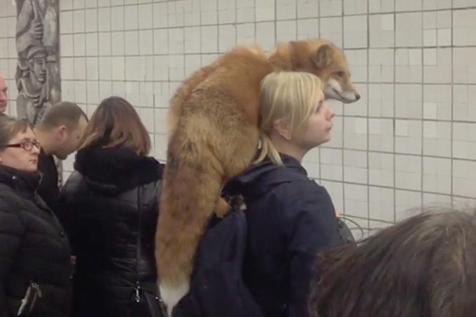 В сети появилось видео, как девушка едет в метро с живой лисой на шее