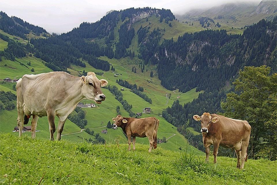 Швейцарские не получат выплаты за «коровьи рога»