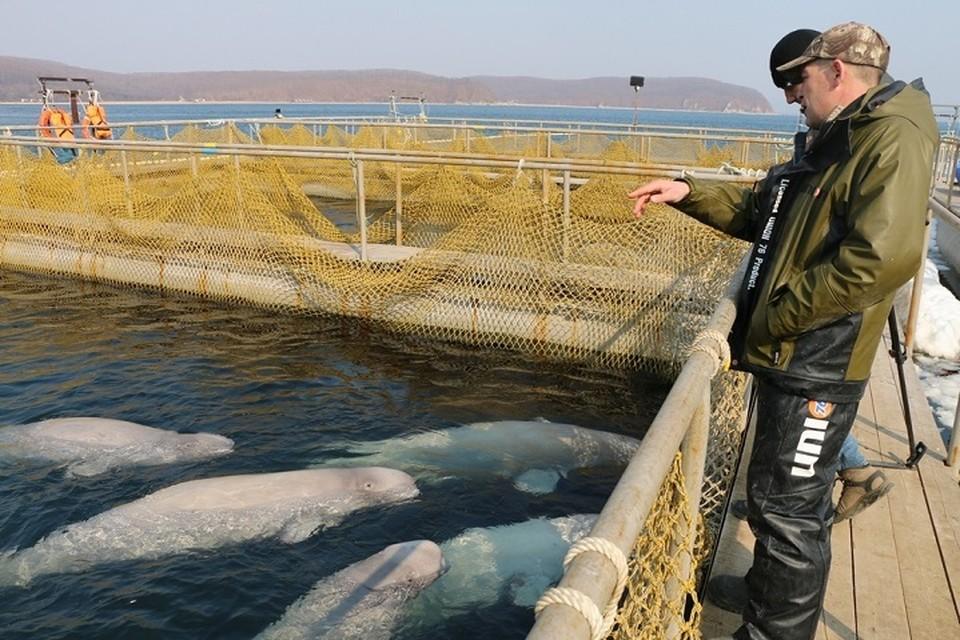 К «китовой тюрьме» в Приморье приковано внимание всего мира. Фото: «Экологическая вахта Сахалина».