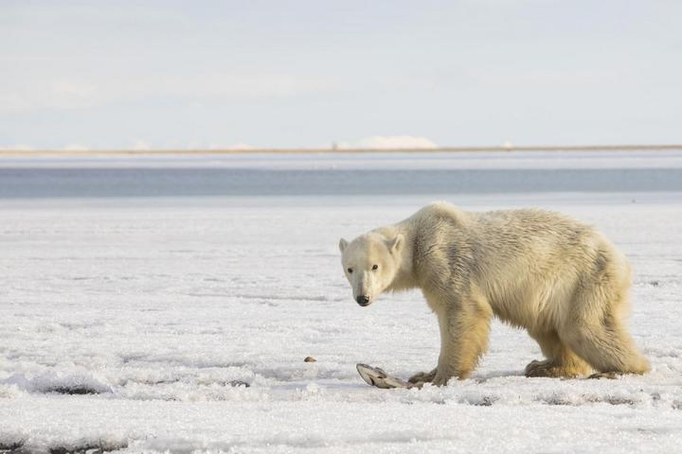 Медведя, приплывшего на льдине на Камчатку, отправили домой на Чукотку. Фото: Леонид Шелапугин