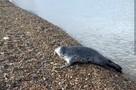 «Люди начали кричать, и собака отбежала от ларги»: во Владивостоке нерпа вышла на берег