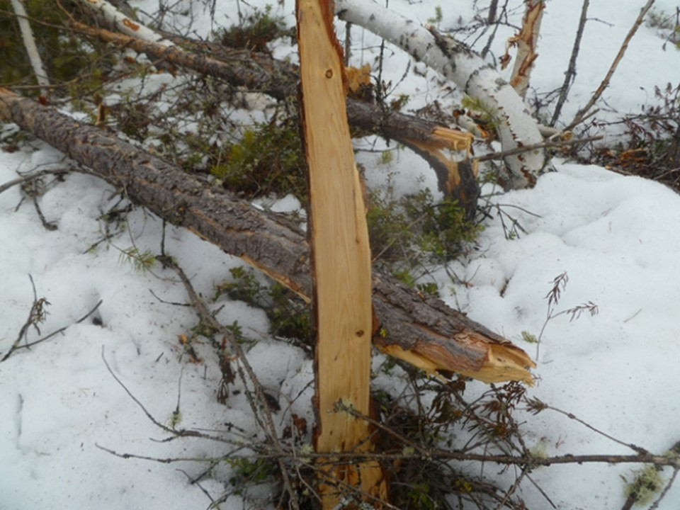 В Югре вездеходы уничтожили деревья в лесу. Фото с сайта Природнадзора Югры