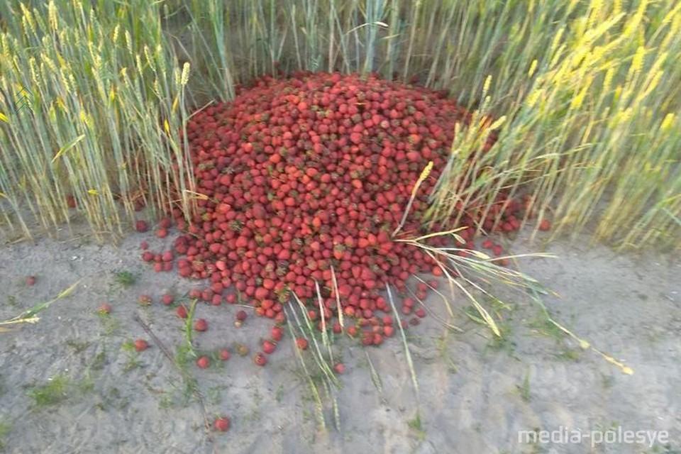 Клубнику невозможно сдать, и сельчане выбрасывают ее. Фото: Медиа-Полесье.