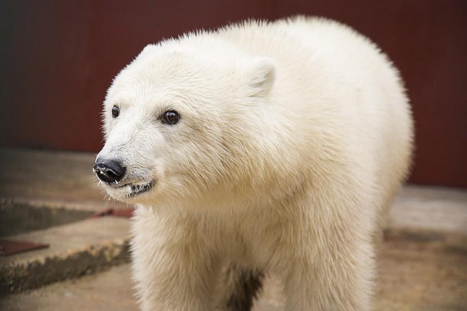 """В московском зоопарке сотрудница остановила белого медведя веником и совком. Фото: ГАУ """"Московский зоопарк"""""""
